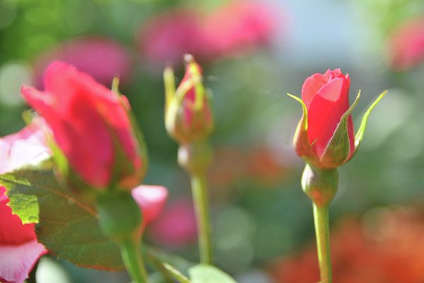 Tender rose by Yarinka Morozova  Delicate pink rose, blur #Yarinka MorozovaFeineArtPhotography#summer#Rose # pink