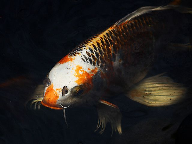 35 best images about koi fish on pinterest japanese koi for Mini carpe koi