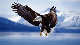 Muhammad Nouman Ali sheroz Awais iqbal Talha Mohsin Riaz: best eagles wallpapers | beautiful eagles wallpapers | awesome eagles wallpapers | eagle wallpapers