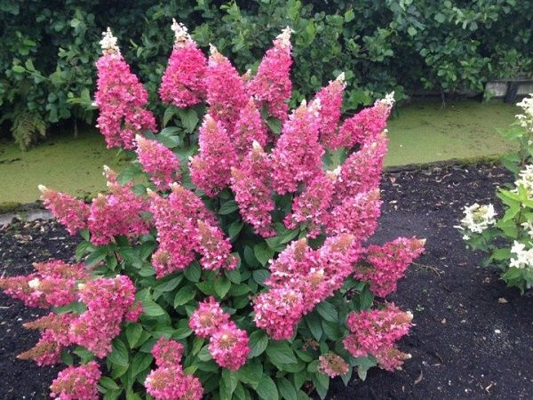 Hydrangea paniculata Pinky Winky - Pluimhortensia