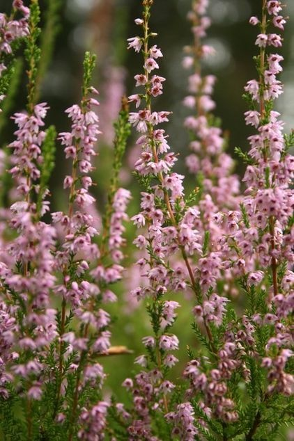55 best plants to beware images on pinterest poisonous plants great design plant scotch heather the moors arent all moody as fandeluxe Image collections
