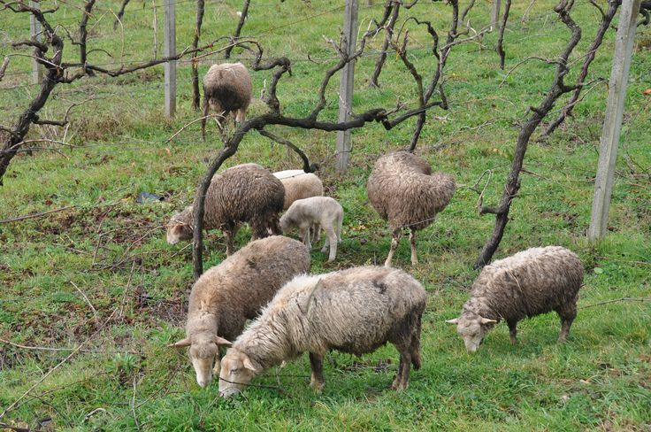 Sheeps in the backyard