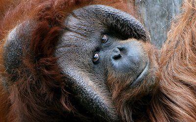 Scarica sfondi scimmia, il primato di, orangutan