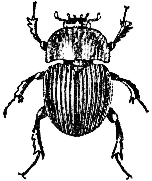 dung_beetle.jpg (589×700)