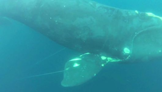 Knife-wielding diver saves rare whale [Video]