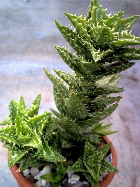 tiger tooth aloe, what a name