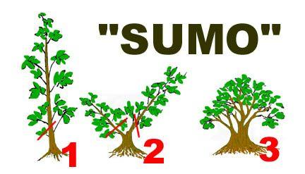 SUMO I. 3 step 72dpi 6x3inch.jpg (26987 bytes) BONSAI TREESAt FOSTERGINGER @ Pinterest.♦️