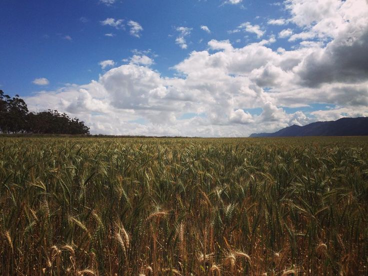 Lovely fields of gold in Porterville  #wheat #instadaily #instaview #fields #fieldsofgold #country