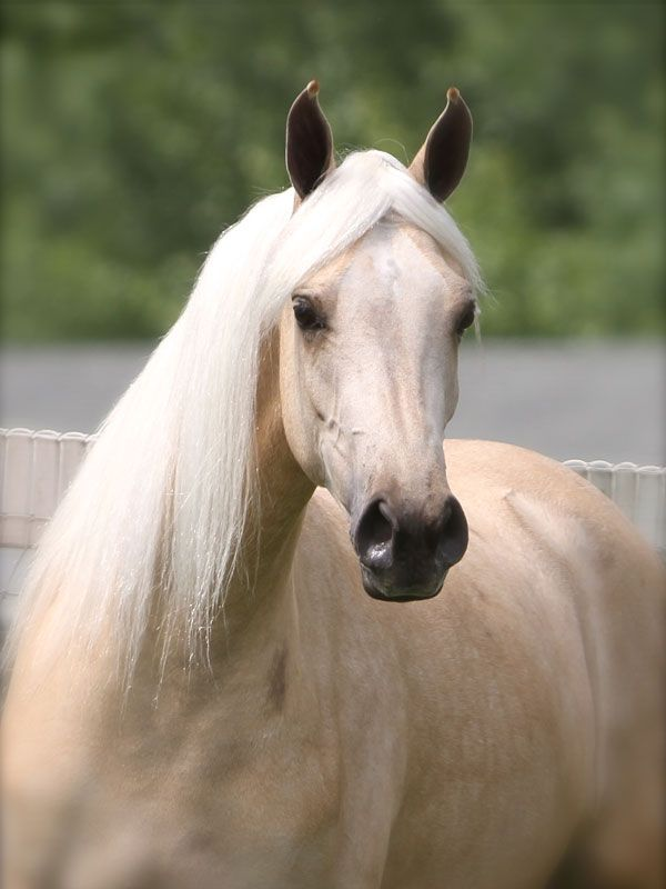 Beautiful Palomino mare named 'Count Me In' - from The Palomino Store
