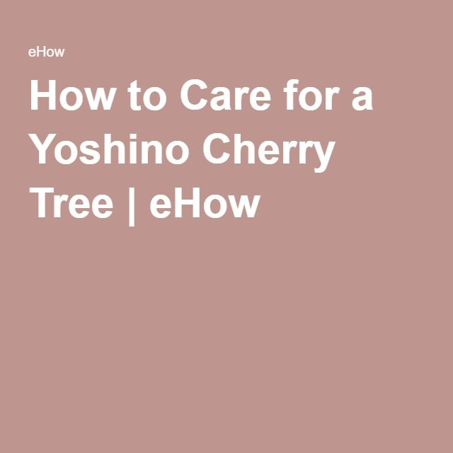 How to Care for a Yoshino Cherry Tree | eHow