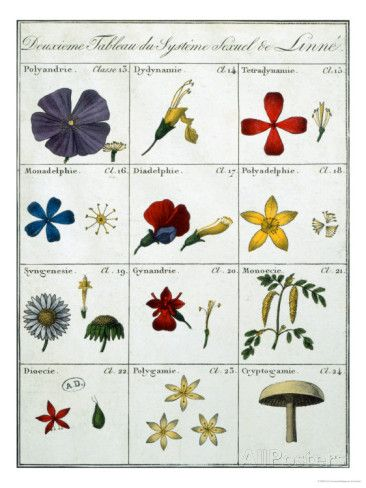 Giclee Print by Carl Linnaeus at AllPosters.com