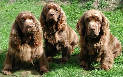 Sussex Spaniels: BASICALLY MINI NEWFIES WITH LONG EARS <3