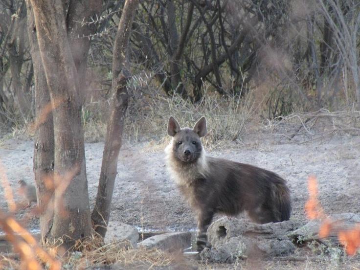 Brown Hyena  #kalahari #botswana #safari #africa #travel #bushmen #desert #bigfive #wildlife #animals #lodgeaccommodation #gameviewing