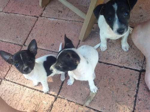 For sale we have 2 male and 1 female miniature fox terrier pups .  They are all black and white and long tail  Regularly wormed and flea treated.  Microchipped.  We have both mother and father.  Make perfect companion for kids elderly.  Ready to go now to their forever homes - https://www.pups4sale.com.au/dog-breed/674/Miniature-Fox-Terrier.html