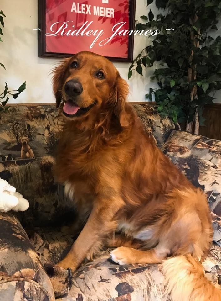 Golden Retriever Puppies Pennsylvania Puppies For Sale Red Color Golden Retriever Red Things Color Pu Retriever Puppy Puppies For Sale Golden Retriever