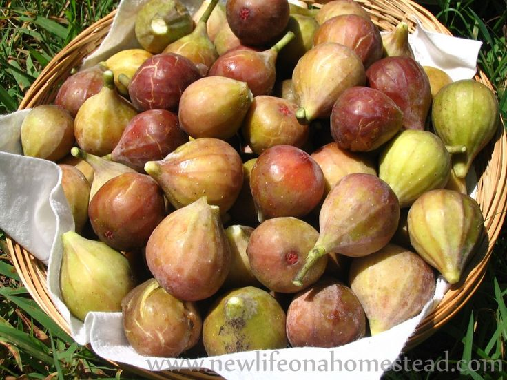 """Pickled Figs Recipe: """"Christmas in a Jar"""""""