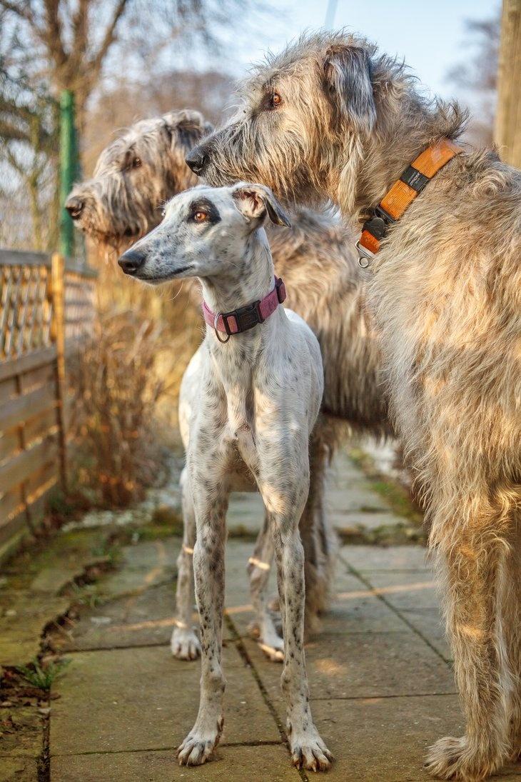 L'Irish Wolfhound 80ca782ec1bb6bc2f144093b349eda68