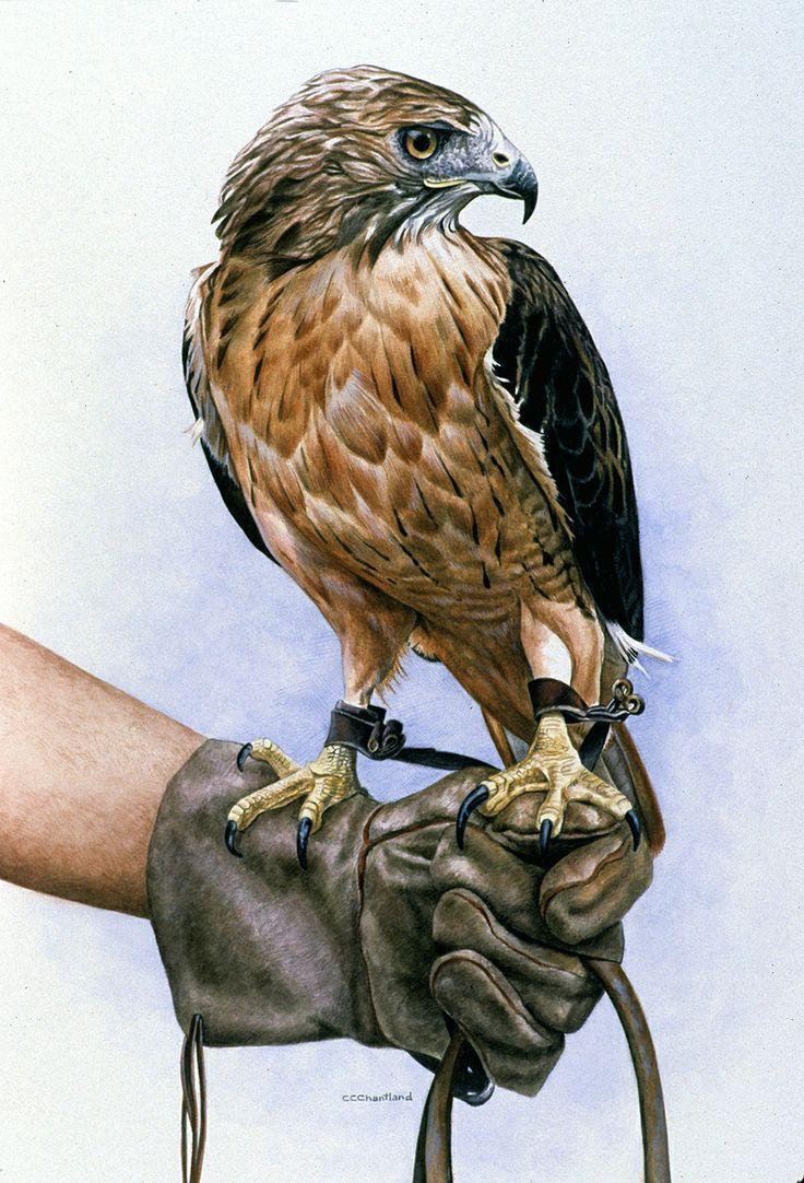 Hawk painting watercolor - photo#54