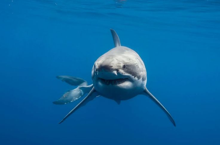 The Great White Sharks of Guadalupe