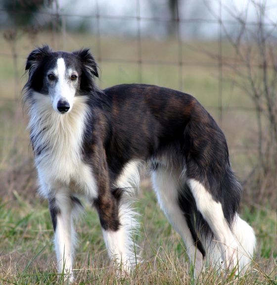 apache - Silken Windhound (Vesper's maternal grand sire and where she gets her looks and temperament.)
