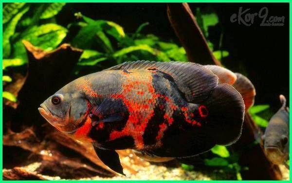 Panduan Lengkap Perawatan Ikan Oscar Ikan Hewan Binatang