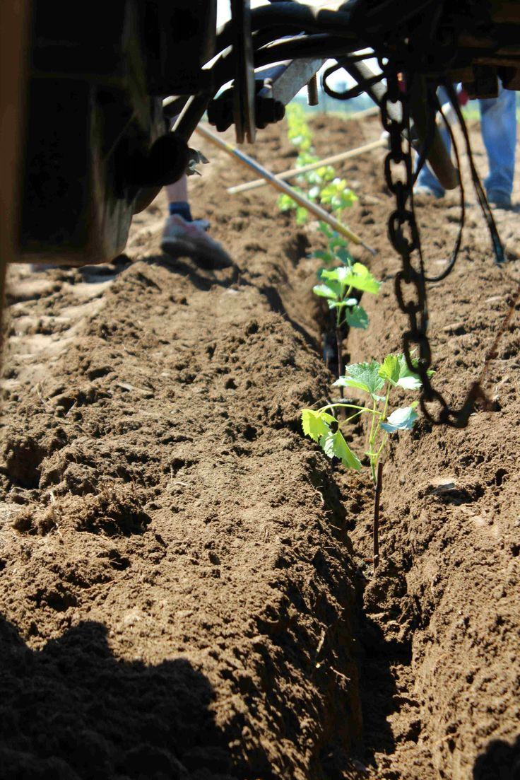 Sous le tracteur , dans le sillon, voici le nid des jeunes vignes.
