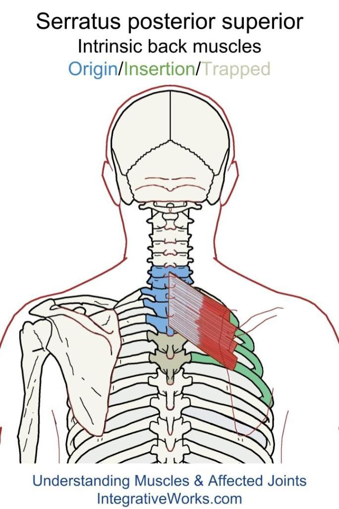 Serratus Posterior Superior Functional Anatomy Back Intrinsic