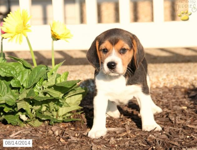 Lynelle Beagle Puppy for Sale in Lebanon, PA