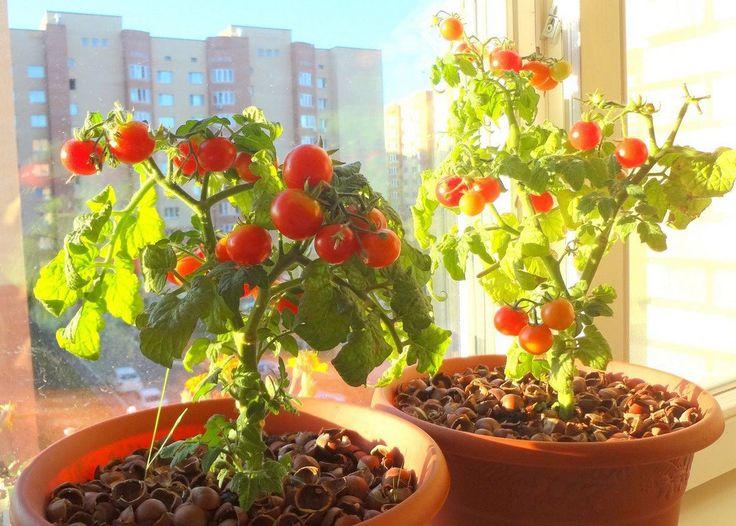 Мини-огород на подоконнике: лучшие сорта комнатных томатов | 6 соток