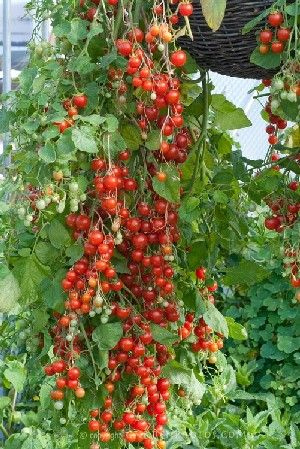 Cherry Tomatoes in a hanging basket - great space-saving idea.