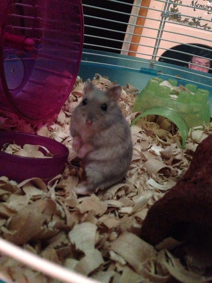My hamster chubs! Its a female winter white hamster ...