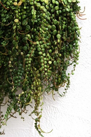 Hanging Succulent Plants – Learn About Types Of Hanging Cactus