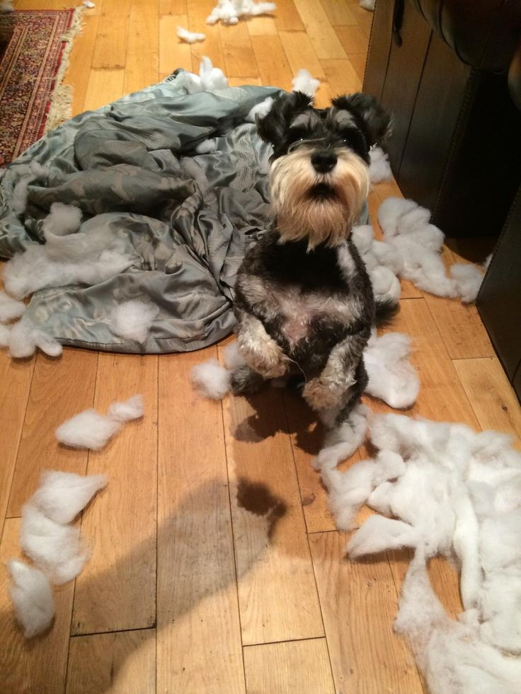 Do you think hes guilty i thought schnauzers were well