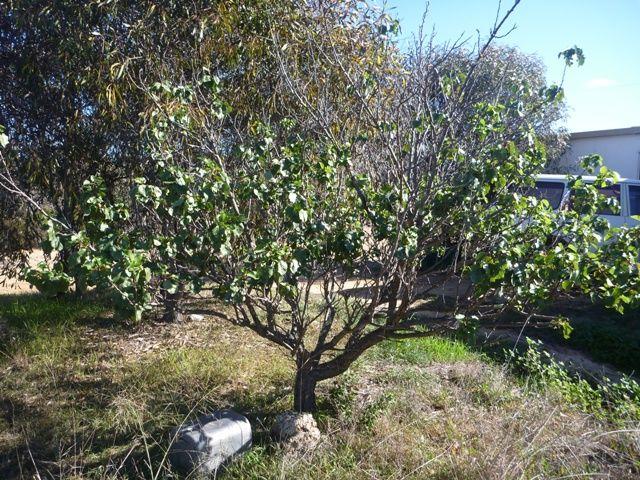 The apricot tree