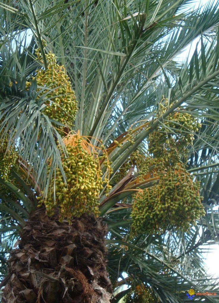 Palmier dattier (Phoenix dactylifera)