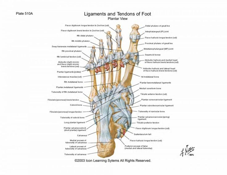 Ligaments Of The Foot - See more about Ligaments Of The Foot, anterior talofibular ligament, ligaments foot diagram, ligaments of the ankle, ligaments of the foot anatomy, ligaments of the foot injury, peroneus tertius tendon, tendons of the foot, torn ligaments foot