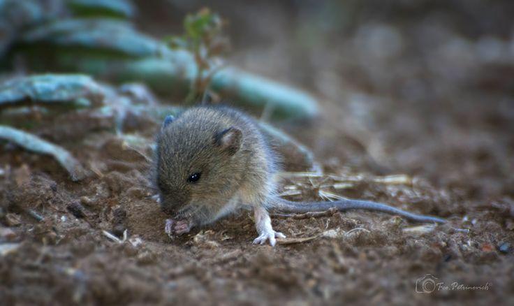 Ratón colilarga