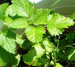Vegetable Crops That Do Not Need Pollinators (the picture of lemon balm is not a great example -- who eats lemon balm as a veggie?, but the article does have good info for what we DO think of as veggies!)