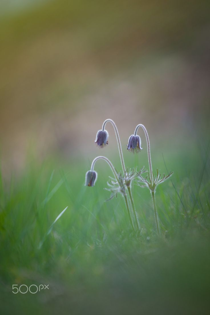 Spring is here! - Pulsatilla Pratensis Pasque Flower is a perennial herb with a basal with hairy leaves. Due to changes in natural conditions, there is a loss of individual species in the nature, because of that are Pulsatillas protected.