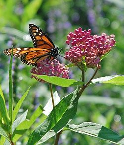Monarch on milkweed… No milkweed, no monarchs! We want lots of monarchs, so we plant lots of milkweed for them to lay their eggs on.