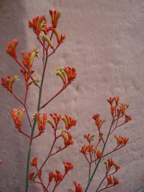 Orange Kangaroo Paw