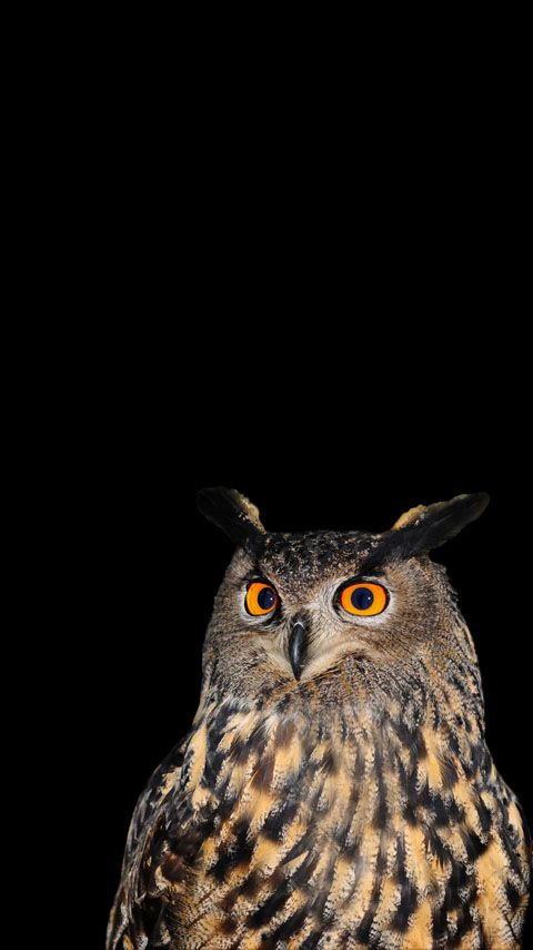 Free wallpapers / backgrounds for phones with FWVGA display (resolution 480 x 854 pixels / 16:9 ratio). Nature. Owl.