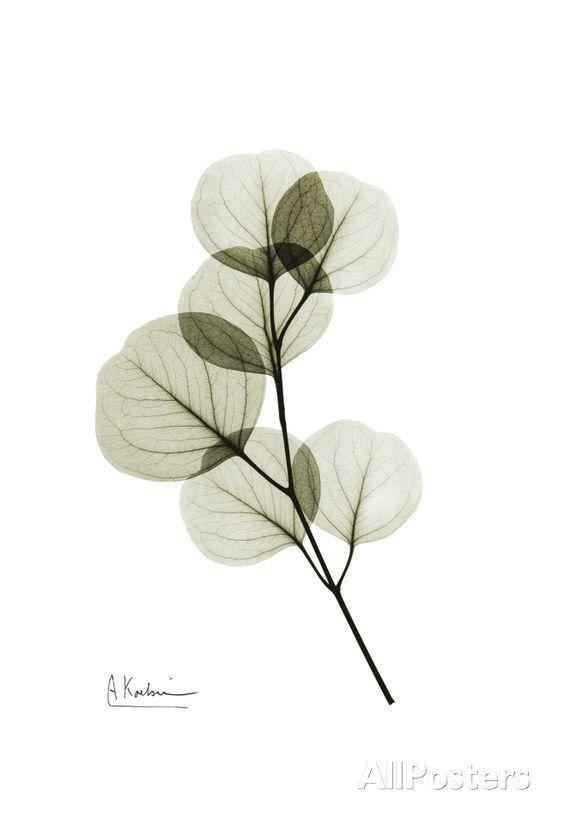 Eucalyptus Art Print at AllPosters.com