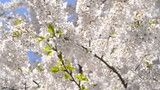 Cherry sakura blossom tree closeup macro view slowmotion sun pink white