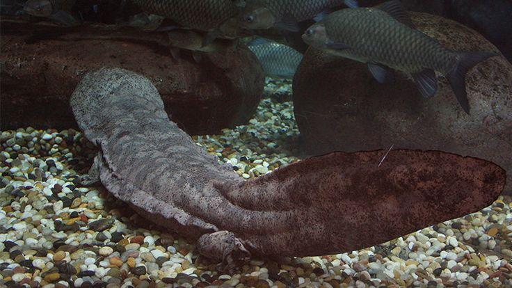 Descubren en China un 'fósil viviente', una salamandra gigante de 200 años de edad