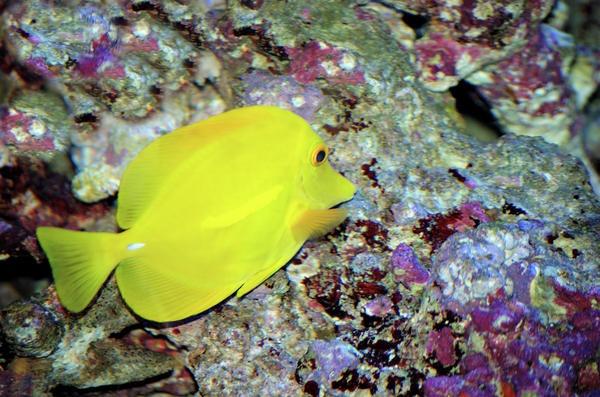 http://fineartamerica.com/featured/yellow-fish-cheryl-hall.html