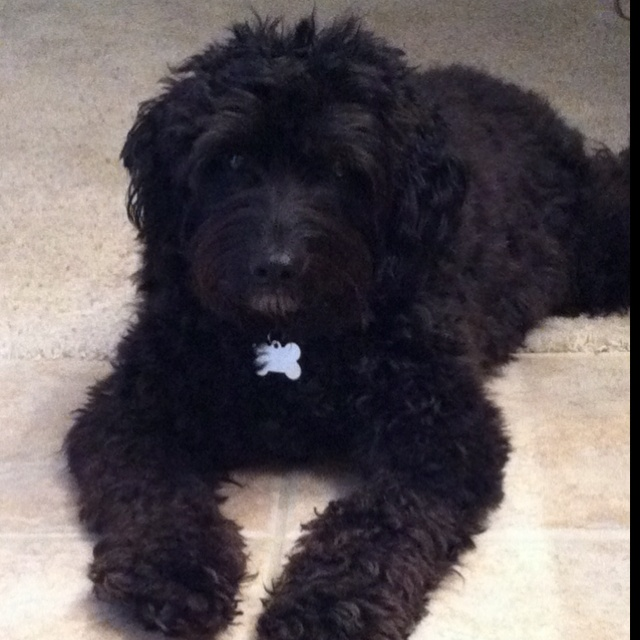 Our miniature black goldendoodle, Bentley! Best puppy ever