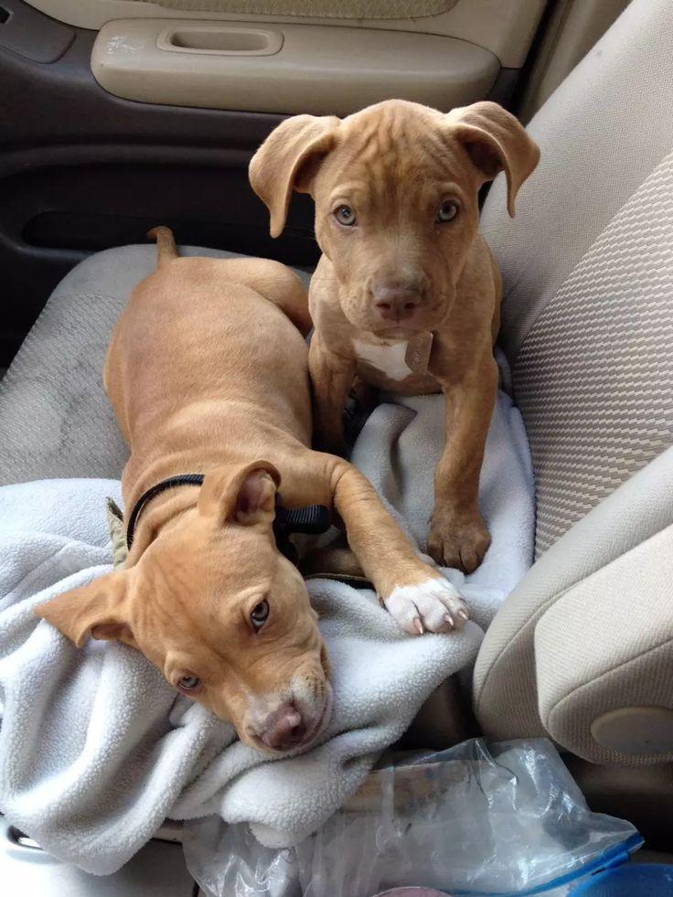 red nose pitbull | Tumblr on We Heart It | Pitbull dog ...