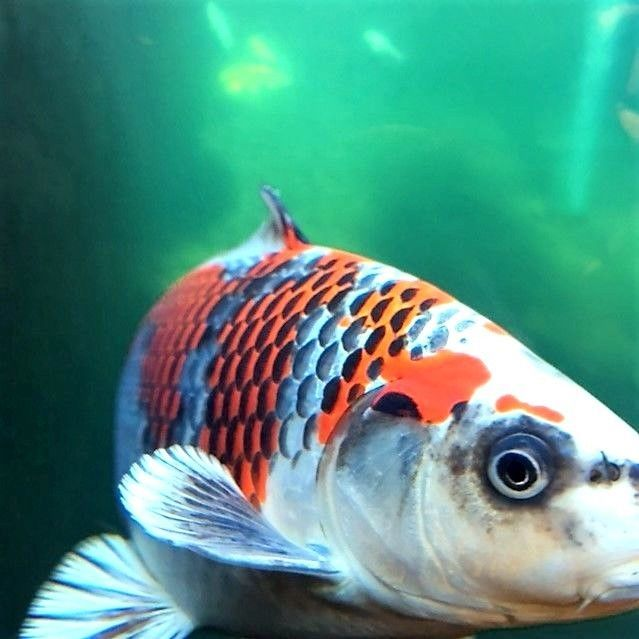 17 best ideas about koi fish prices on pinterest fish for Koi fish cost