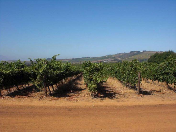 Wineyard & winetasting | Winefarm Simonsig | Stellenbosch
